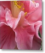 Camellia Japonica Metal Print