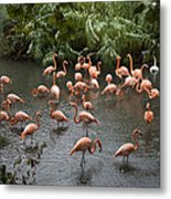 Caribbean Flamingos At The Zoo Metal Print