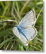 Chalkhill Blue Butterfly Metal Print