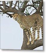 Cheetah Acinonyx Jubatus Female Metal Print