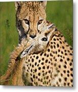 Cheetah Acinonyx Jubatus With Its Kill Metal Print