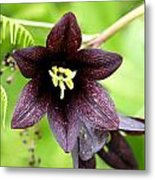 Chocolate Lilly Metal Print