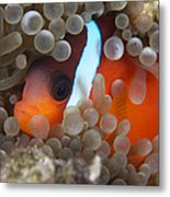 Cinnamon Clownfish In Its Host Anemone Metal Print