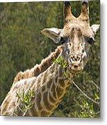Close View Of A Giraffe Metal Print