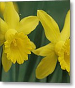 Close View Of Early Spring Daffodils Metal Print