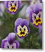 Close View Of Pansy Blossoms Metal Print
