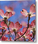 Close View Of Pink Dogwood Blossoms Metal Print