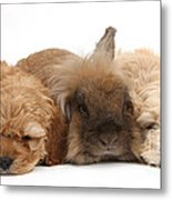 Cockerpoo Puppies And Rabbit Metal Print
