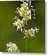 Cocksfoot Grass (dactylis Glomerata) Metal Print