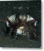 Coconut Octopus In Shell, North Metal Print
