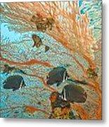 Collare Butterflyfish Metal Print