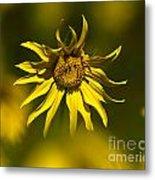 Colorado Sunflowers Metal Print