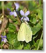 Common Brimstone  Metal Print