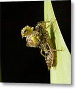 Common Darter Dragonfly Metamorphosis Metal Print