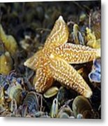Common Starfish Feeding Metal Print