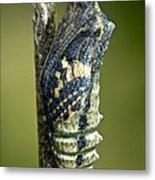 Common Swallowtail Chrysalis Metal Print