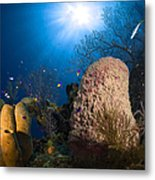 Coral And Sponge Reef, Belize Metal Print