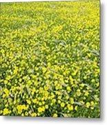 Corn Marigolds (chrysanthemum Segetum) Metal Print