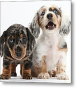 Dachshund Puppies Metal Print