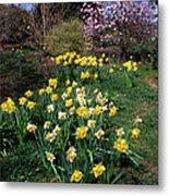 Daffodils (narcissus Sp.) Metal Print