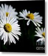 Daisy Flowers Metal Print