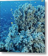 Damselfish Shoal Metal Print