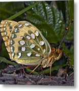 Dark Green Fritillary Butterfly Metal Print