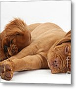 Dogue De Bordeaux And Cavalier King Metal Print