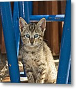 Domestic Cat Felis Catus Kitten, Germany Metal Print