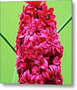 Double Hyacinth 'hollyhock' Metal Print