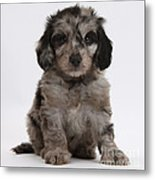 Doxie-doodle Puppy Metal Print