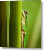 Dwarf Tree Frog Metal Print