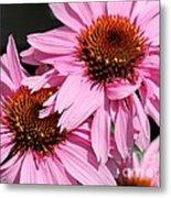 Echinacea Purpurea Or Purple Coneflower Metal Print
