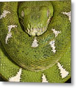 Emerald Tree Boa Corallus Caninus Metal Print by Pete Oxford