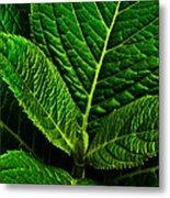 Emerging Hydrangea Leaf Metal Print