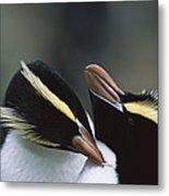 Erect-crested Penguin Eudyptes Sciateri Metal Print