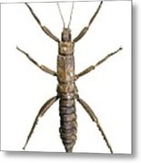 Eurycantha Stick Insect Metal Print