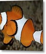 False Clownfish Metal Print
