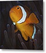 False Ocellaris Clownfish In Its Host Metal Print