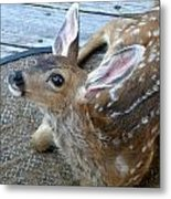 Fawn Looking Up Metal Print