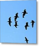 Flock Of Flying Oystercatchers Metal Print