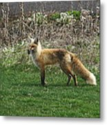 Fox With Dinner Metal Print