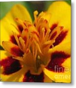 French Marigold Named Starfire Metal Print