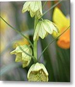 Fritillaria Cirrhosa Var. Thunbergii Metal Print