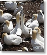 Gannet Birds Showing Fencing Behavior Metal Print