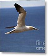 Gannet In Flight Metal Print