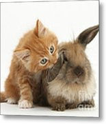 Ginger Kitten And Young Lionhead-lop Metal Print