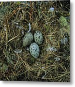 Glaucous-winged Gull Nest With Three Metal Print