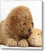 Goldendoodle Puppy And Guinea Pig Metal Print