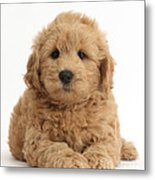 Goldendoodle Puppy Metal Print